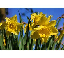 Daffodils in Spring time as pseudo oil painting Photographic Print