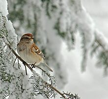 Tree Sparrow in Snow Storm by Michael Mill