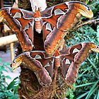 THE ATLAS MOTH'S (Attacus atlas)  by Johan  Nijenhuis