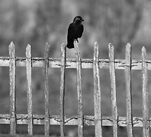 Jackdaw by photoshotgun