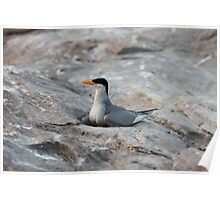 River Tern Poster