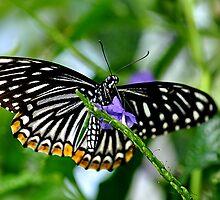 Zebra Butterfly  by Judy Grant