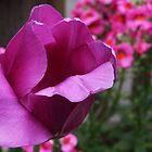 Purple Tulip by CherylBee