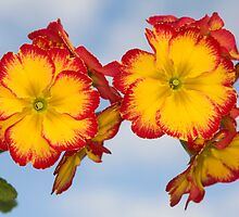 Polyanthus by Brian Haslam
