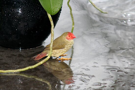 Star Finch - Hiding for the Rain by Jo Nijenhuis