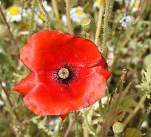 Wild Poppy by KCiPhoto