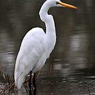 Portrait of a Great Egret by Dennis Stewart