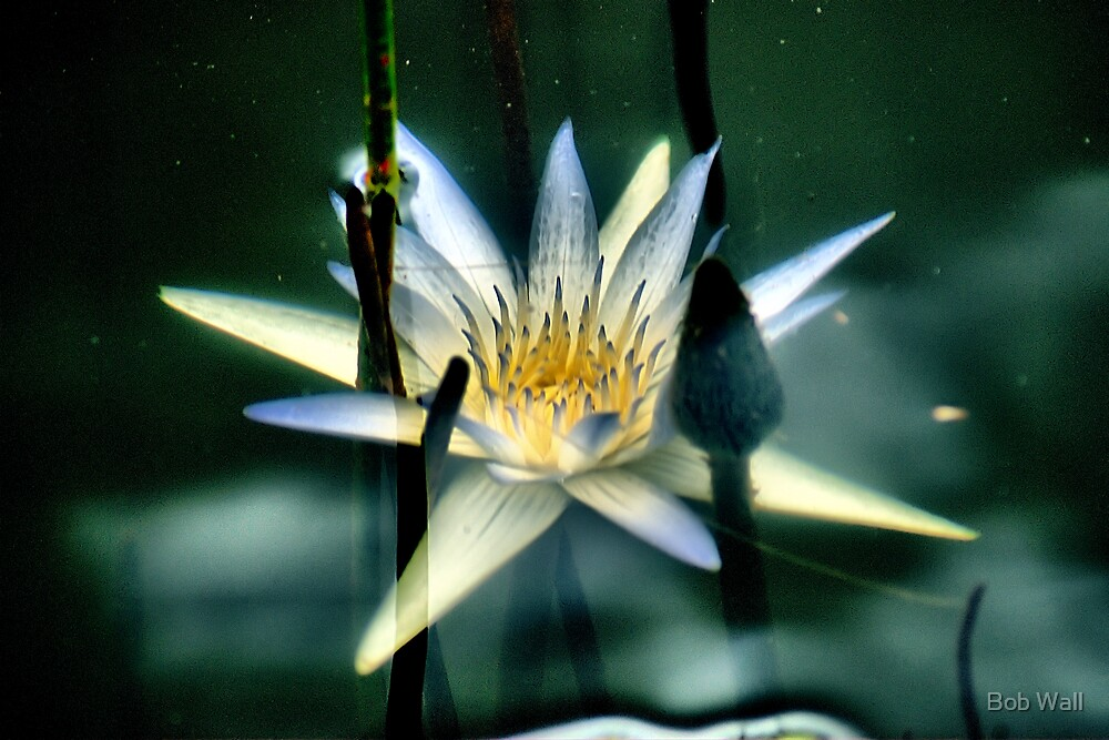 Underwater Lily by Bob Wall
