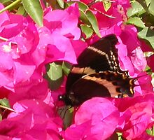 Butterfly on bougainville Monte Alban by melisenda2010