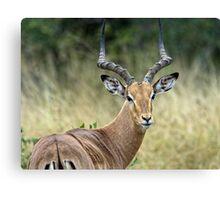 Impala Male Canvas Print