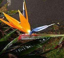 """Misty Bird of Paradise """"BirdO"""" by iseezu"""