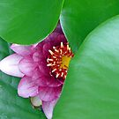 Pink Water Lily by Susan S. Kline