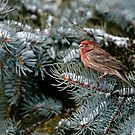 Male House Finch - Ottawa, Ontario by Michael Cummings
