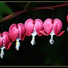 Bleeding Hearts in a line ? by Andy Stuart