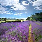 Alphra Lavender Farm - Te Awamutu, New Zealand by Aaron Radford