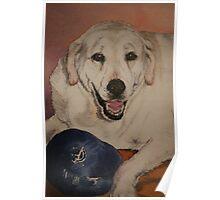 Saffy, the Labrador Poster