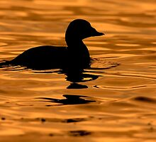 Scoter Silhouette by Martin Smart