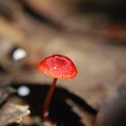 Mycena viscidocruenta aka &quot;Ruby Bonnet&quot; by salsbells69