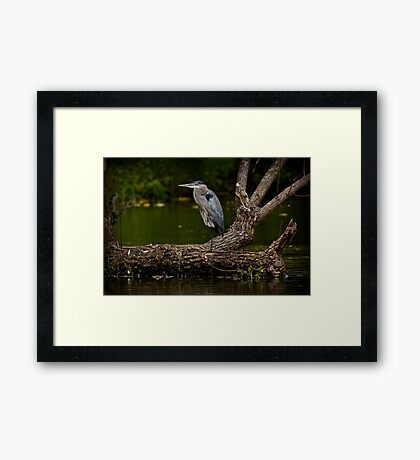 Blue Heron on Log - Ottawa, Ontario Framed Print