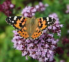 Painted Lady butterfly by John Keates