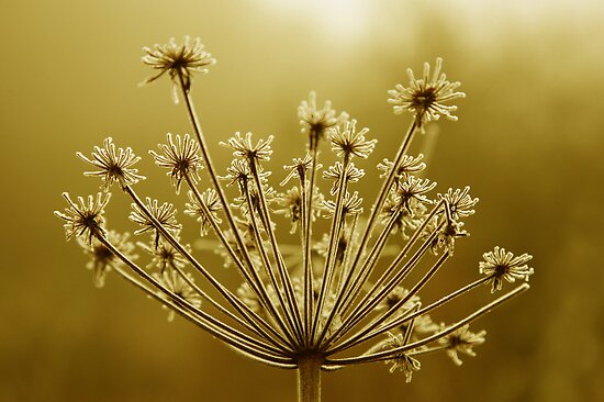 Hogweed Seed Head by John Keates