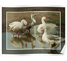Geese Having a Gander! Poster
