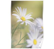 Softly Softly - white daisies Poster
