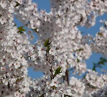 Cherry blossoms in full bloom on a sunny day. by Marc Specht