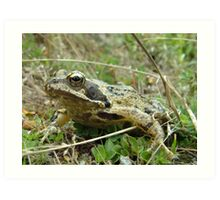 Rana temporaria (UK Common Frog) Art Print