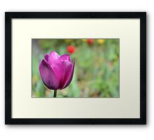 One Purple Tulip in the Garden Framed Print
