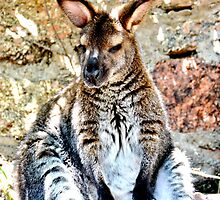Wallaby by Amy McDaniel