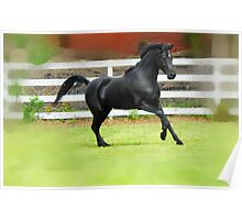 Black Arabian Stallion  Poster