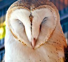 Sleeping Barn Owl by Amy McDaniel