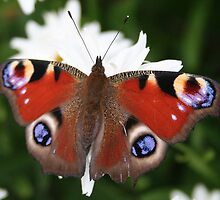 Peacock Butterfly by Teuchter