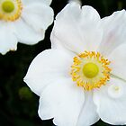 Close-up of white japanese anemone. by Marc Specht