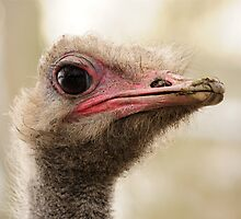 African Ostrich by Ian Tilly