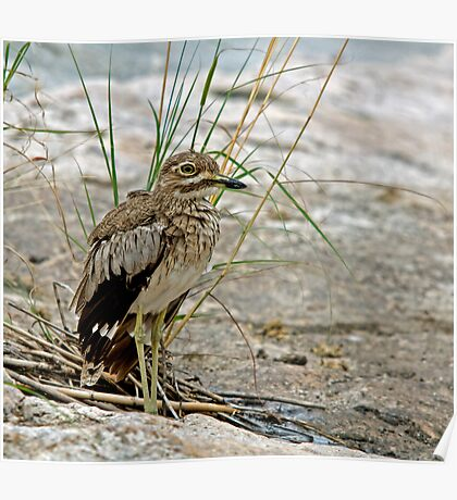 Water Thick-Knee Poster