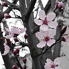 Plum Blossoms~ First Sign of Spring by Kristin Hamm
