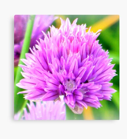 Chive flower Canvas Print