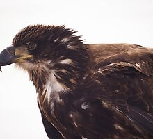 Juvenile bald eagle by Jean Knowles