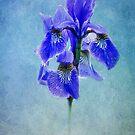 blue Iris by lucyliu
