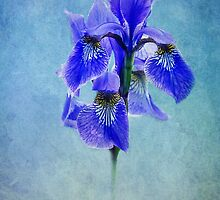 blue Iris by lucyliu
