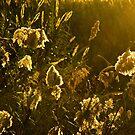 Fields of Golden Sun by Berns