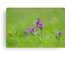 A meadow of green winged orchids Canvas Print