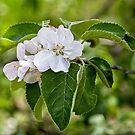 Apple blossoms by PhotosByHealy
