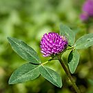 Red Clover by PhotosByHealy
