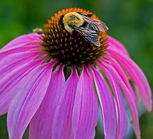 Bumble Bee and Purple Cone Flower in Garden by Paul Marotta