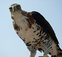 "Ornate Hawk Eagle ""You talkin' to me?"" by iseezu"