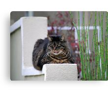 Maine Coon Cat Lounging Metal Print