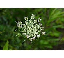 Queen Anne's Lace II Photographic Print